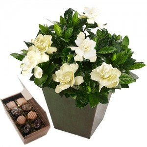 Gardenia and Chocolates